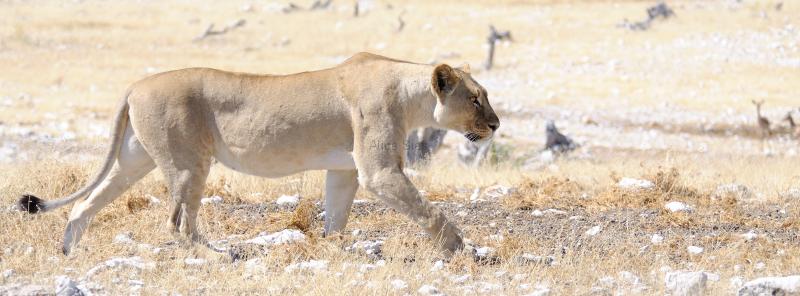 Namibië leeuwin