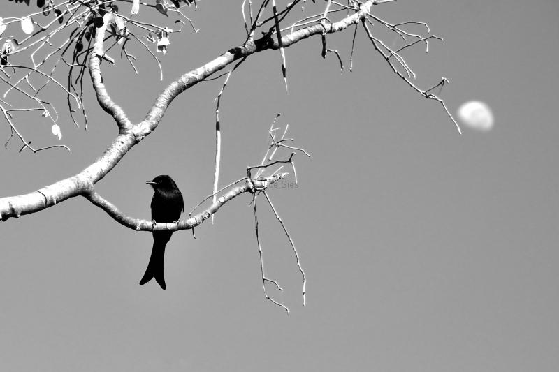 Namibië drongo