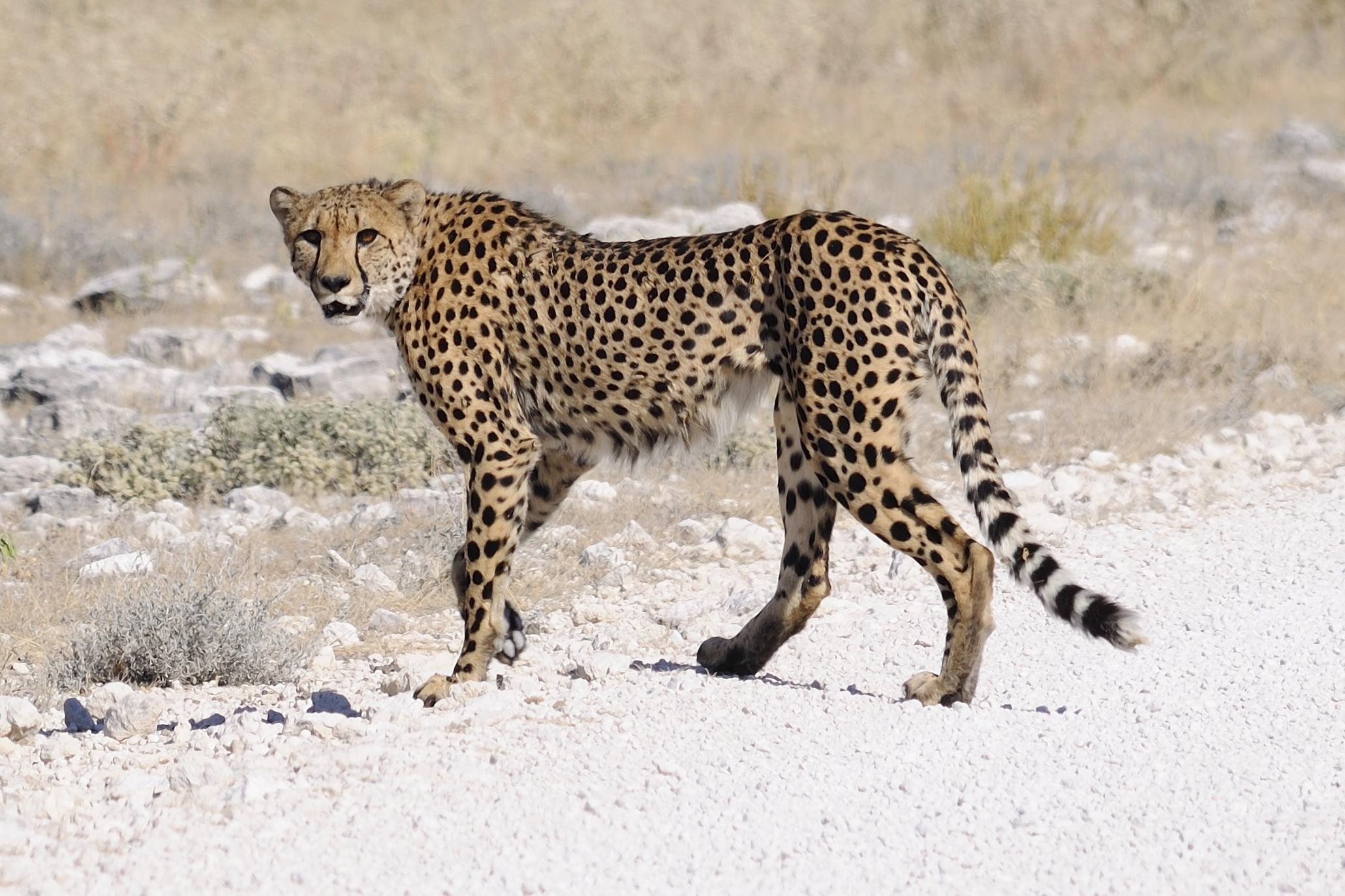 Namibië cheeta